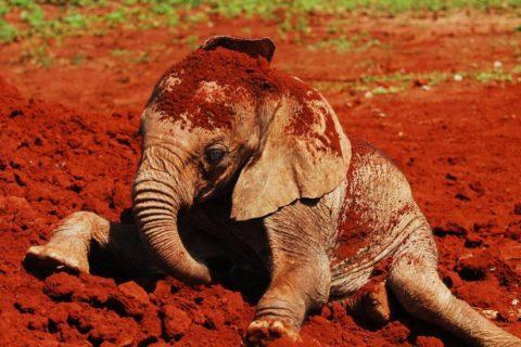 Baby elephant bathing in mud