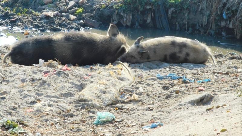 Pigs in human garbage